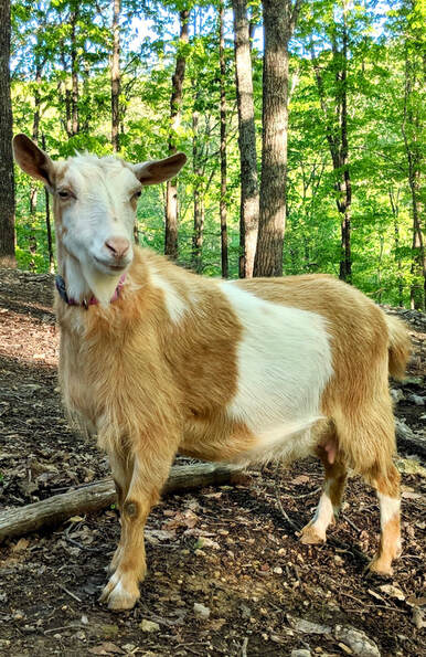 goats for sale near me